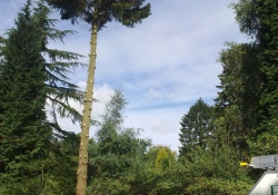 Large Norway Spruce - Tree Surgery in Guildford