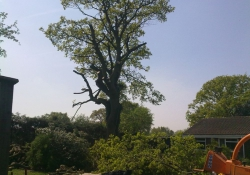 Large Oak - Tree Surgery in Guildford